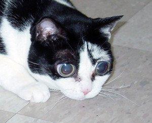 Katze-mit-großen-Augen