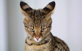 Ohren-Katze